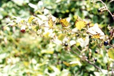 belladone1.jpg