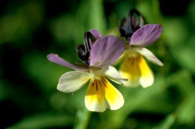 violettetricolore.jpg